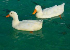 patos 270x195 - Soñar con Pato